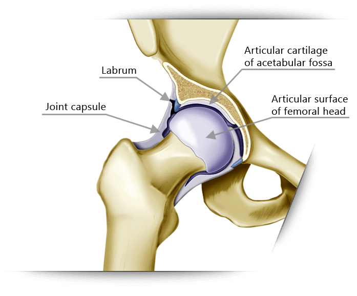 Hip Groin Pain on human anatomy nerves of the leg