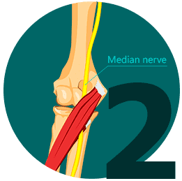 median nerve enters the forearm