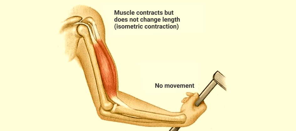 Where Does Isometric Muscle Contraction Occur?
