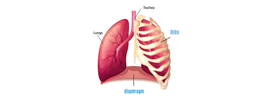 Role of the Diaphragm in Rib Cage Stability