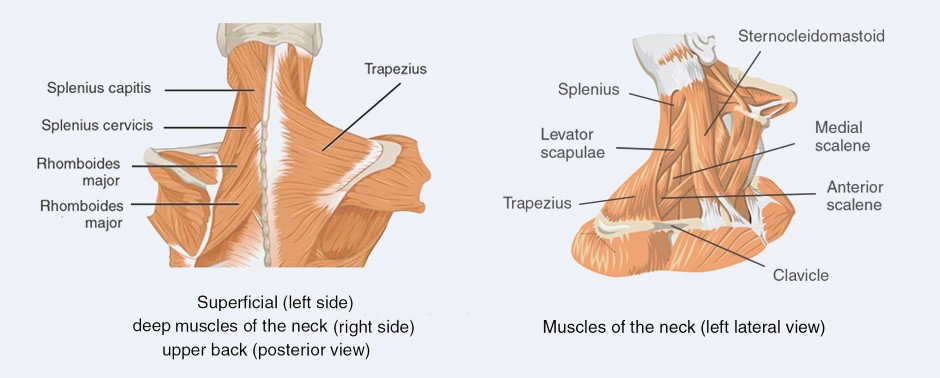 Muscles of the Upper Back and Neck